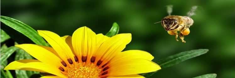 Arılara mikroçipli takip