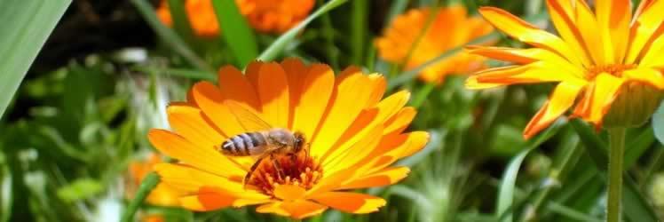 Bal Arılarının Beslenmesinde Polenin Yeri